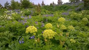 Angelica leaves help an overactive bladder